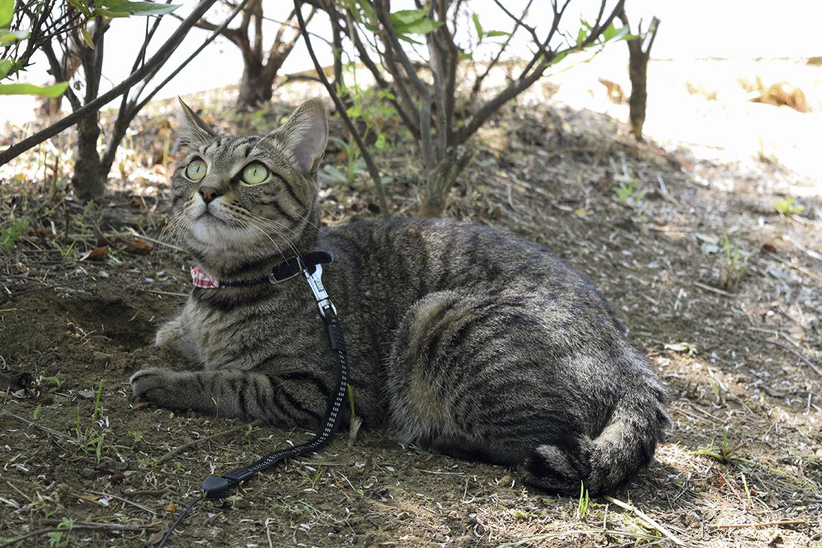 お隣さんと遭遇したキジトラ猫の虎ノ介