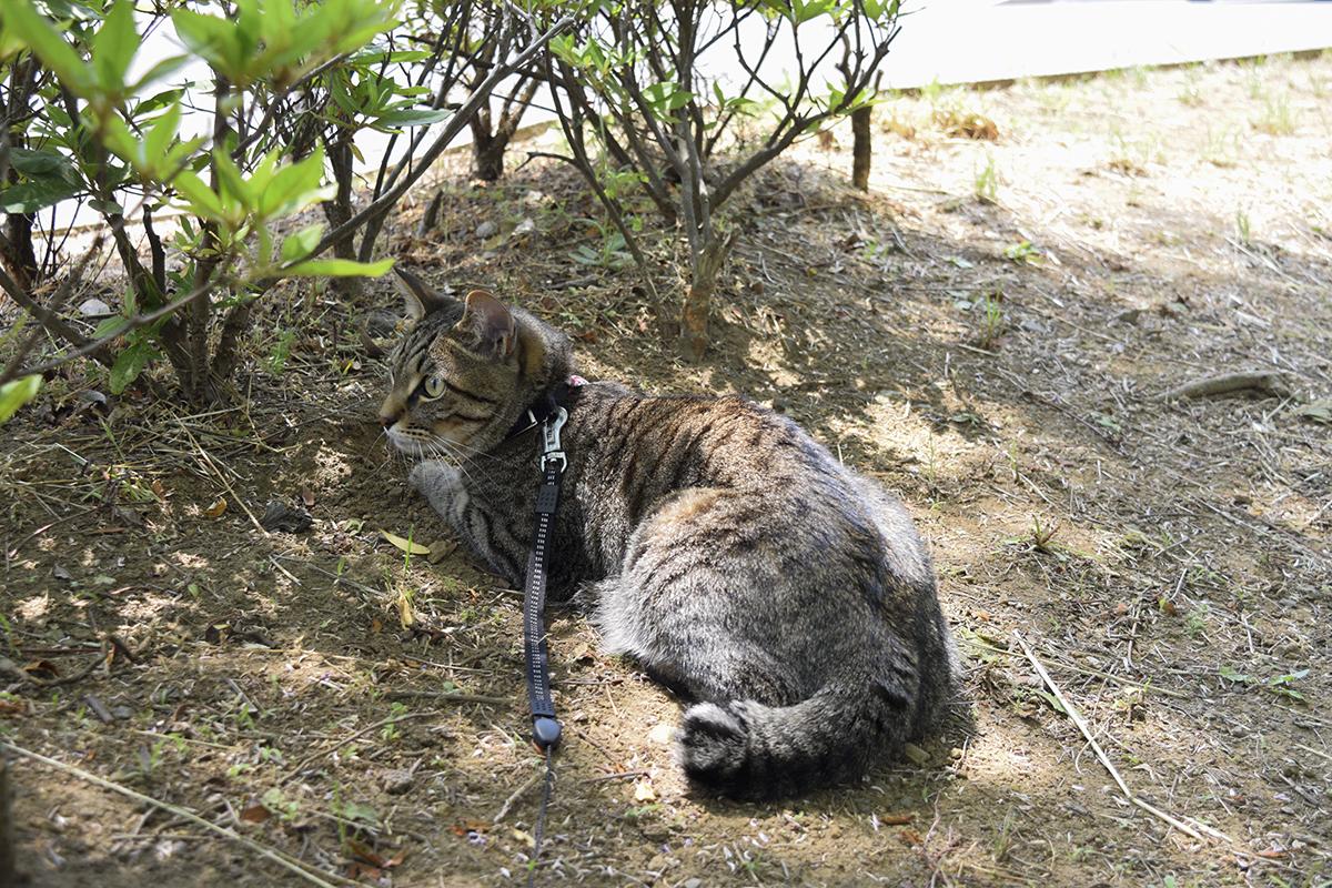 お気に入りの場所でくつろぐキジトラ猫の虎ノ介