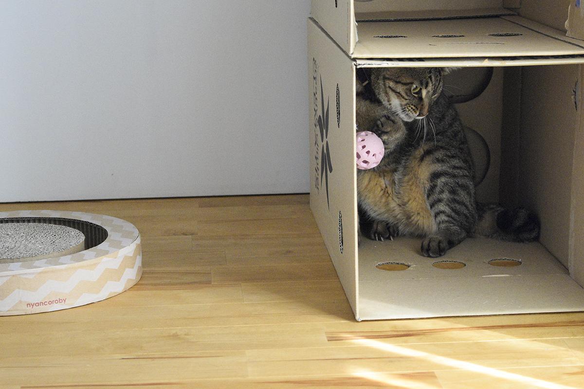 段ボールの中で遊ぶキジトラ猫の虎ノ介