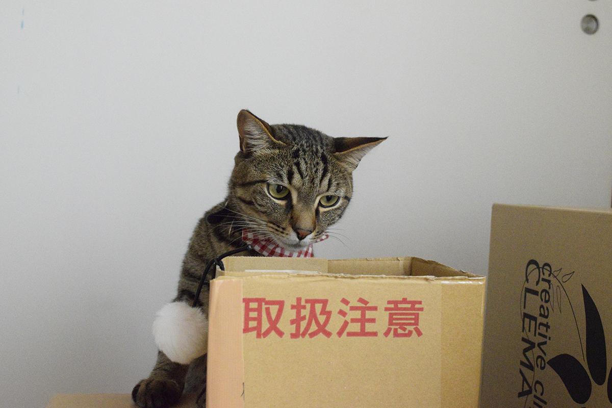 段ボールハウスをチェックするキジトラ猫の虎ノ介