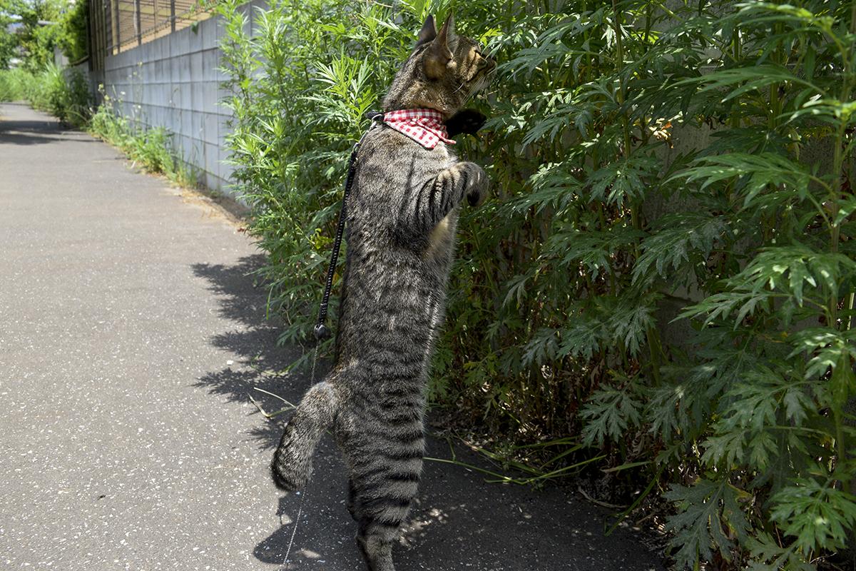 草の中からする音が気になって立ち上がるキジトラ猫の虎ノ介