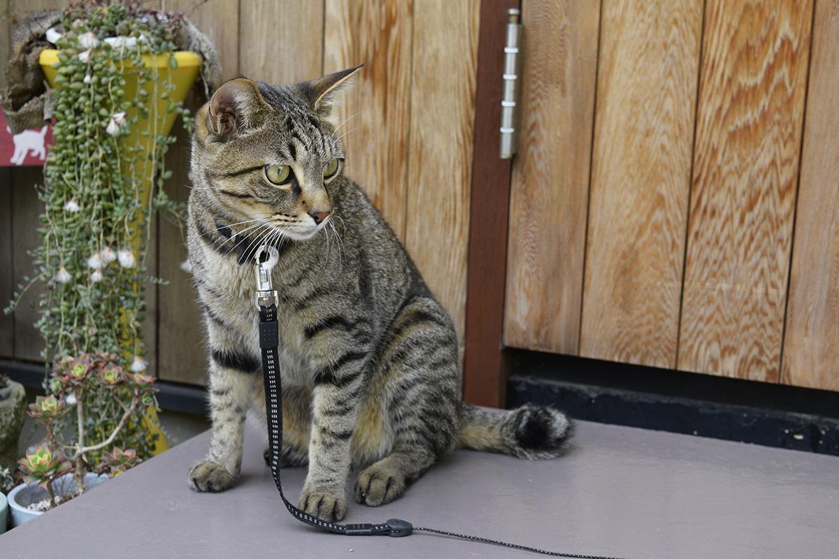 逃げたカナヘビを探すキジトラ猫の虎ノ介