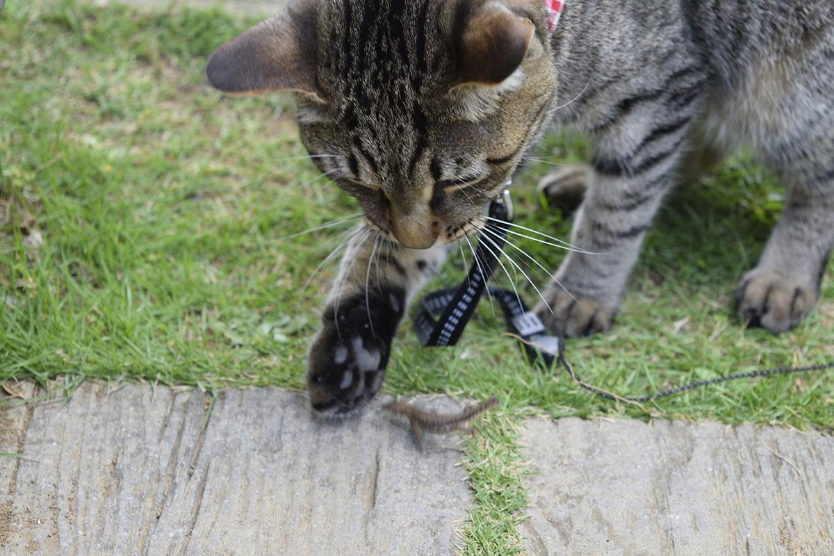 カナヘビで遊ぶキジトラ猫の虎ノ介