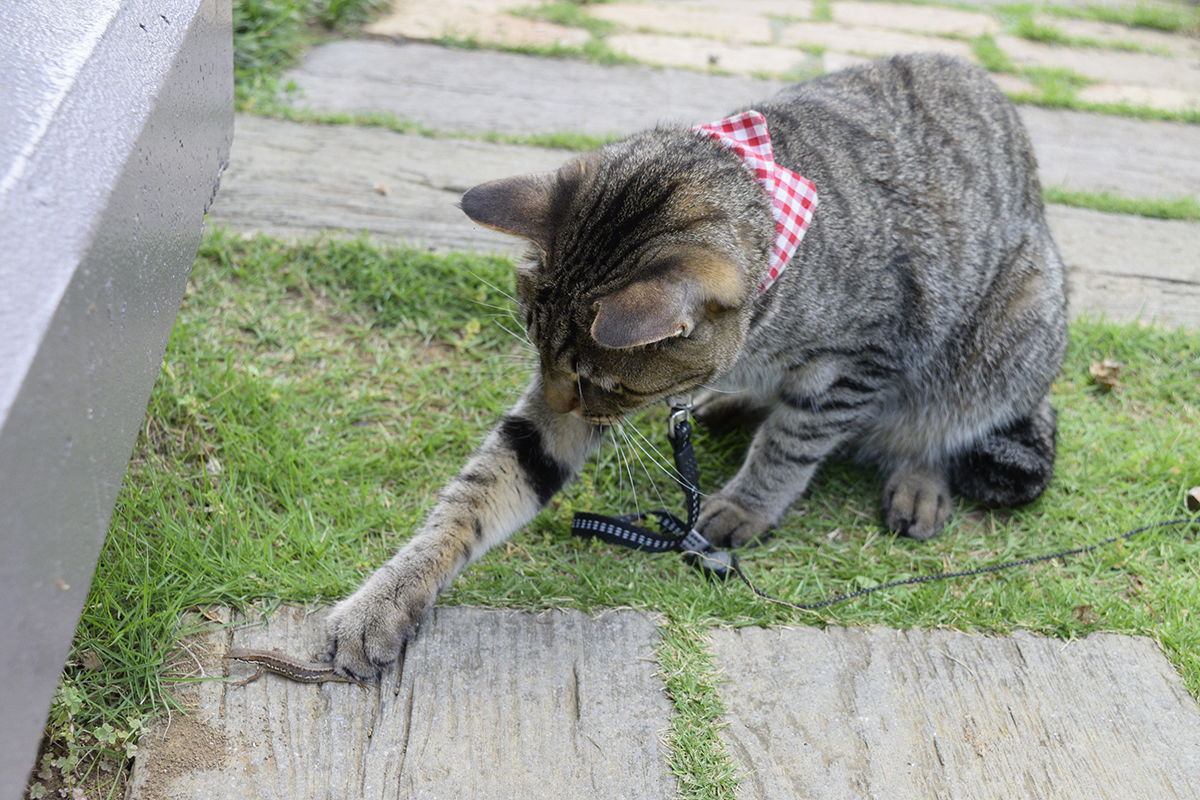 逃げるカナヘビを捕まえるキジトラ猫の虎ノ介