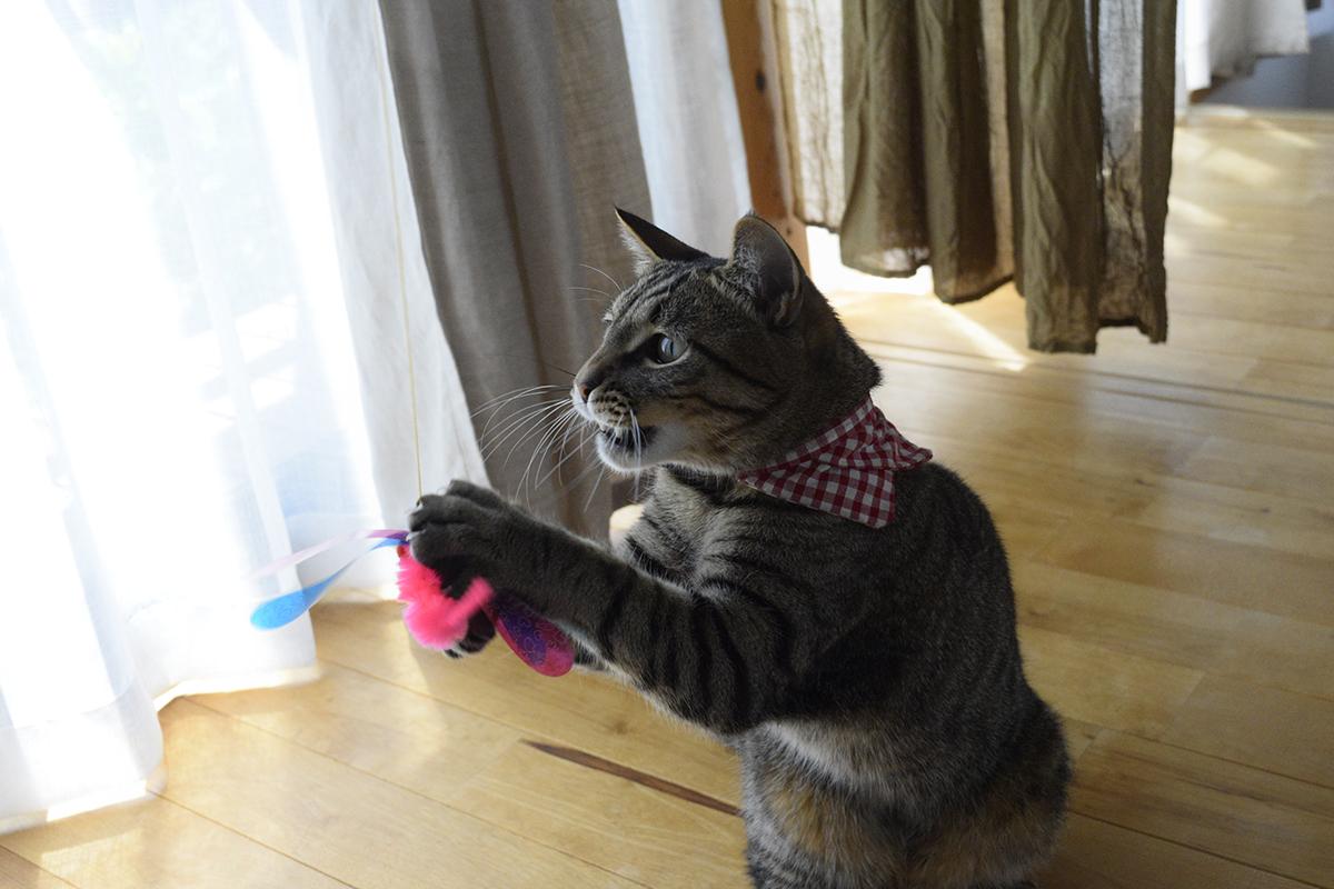 新しいおもちゃにくらいつくキジトラ猫の虎ノ介