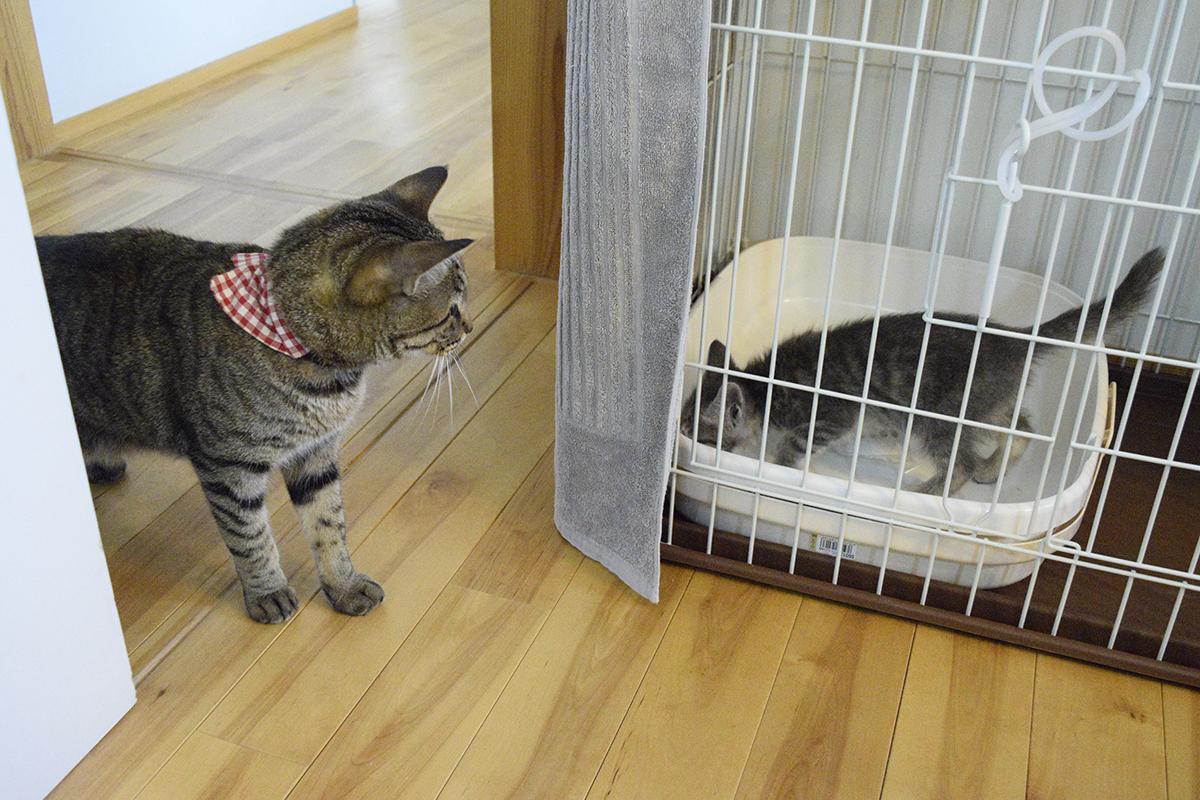 新入り猫に気が付くキジトラ猫の虎ノ介