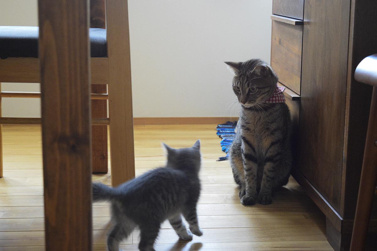 新入りと遊ぶキジトラ猫の虎ノ介