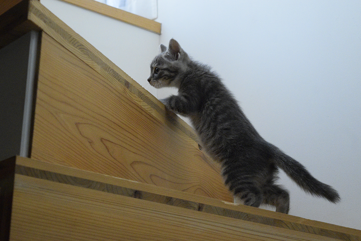 キジトラ猫の虎ノ介をおいかけて階段を上る新入り猫