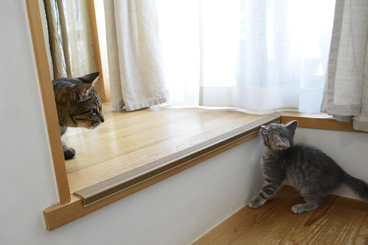 新入り猫に2階には来て欲しくないキジトラ猫の虎ノ介