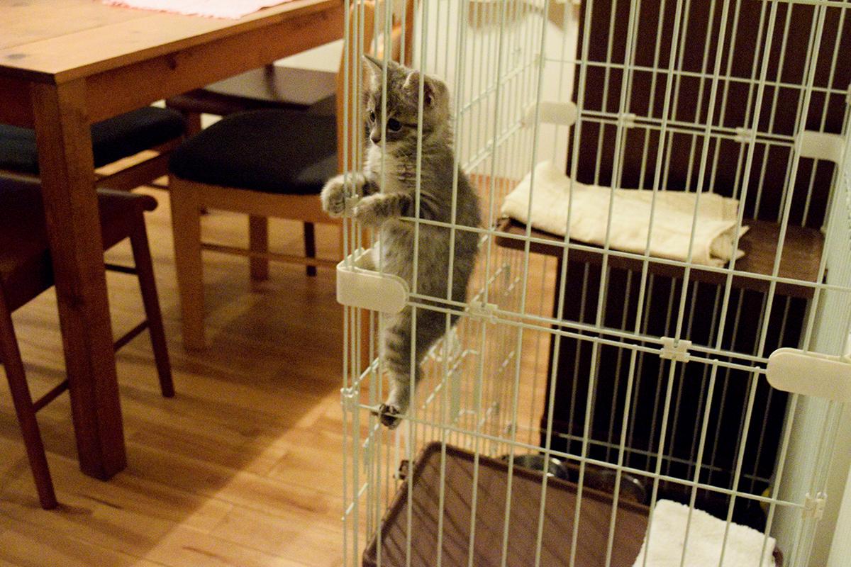 ケージから出たがってよじ登る新入り猫