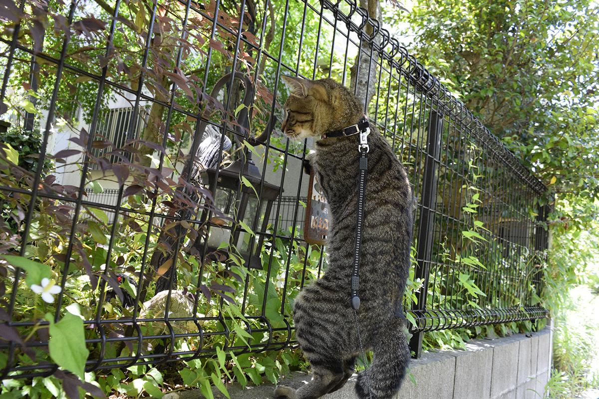 ヘビをみつけてフェンスに飛び乗るキジトラ猫の虎ノ介