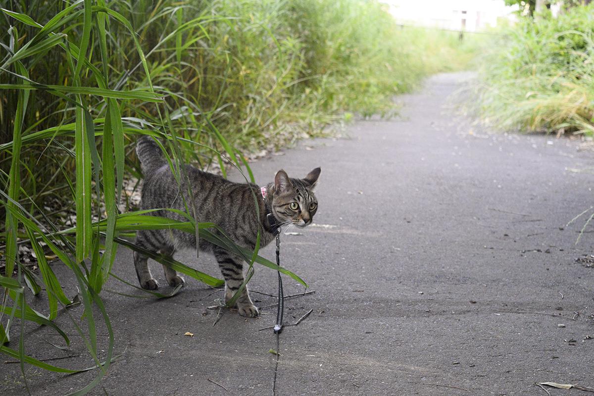 草がボーボーな散歩道のキジトラ猫の虎ノ介