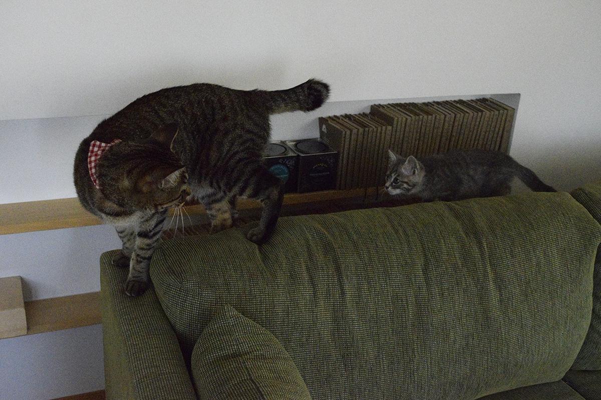 キジトラ猫の虎ノ介の後をついて歩く新入り猫