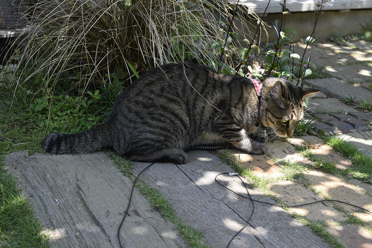 バッタで遊ぶキジトラ猫の虎ノ介