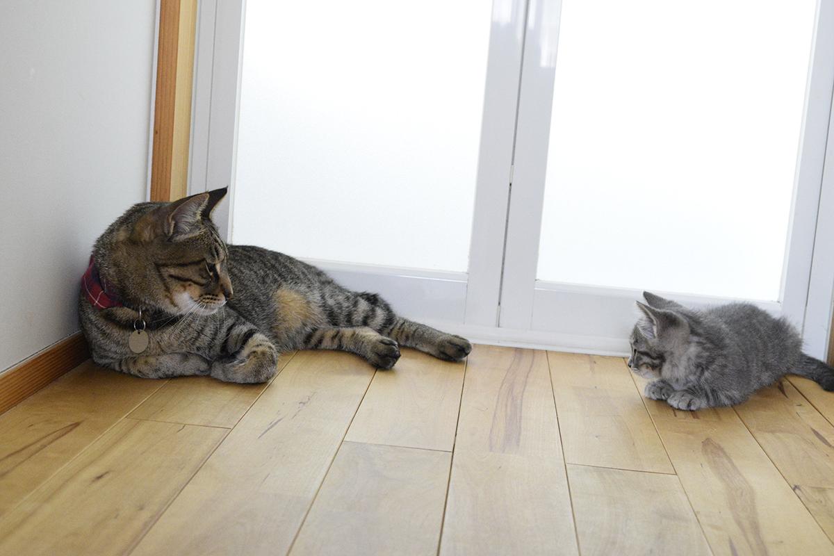向かい合うキジトラ猫の虎ノ介と新入り猫