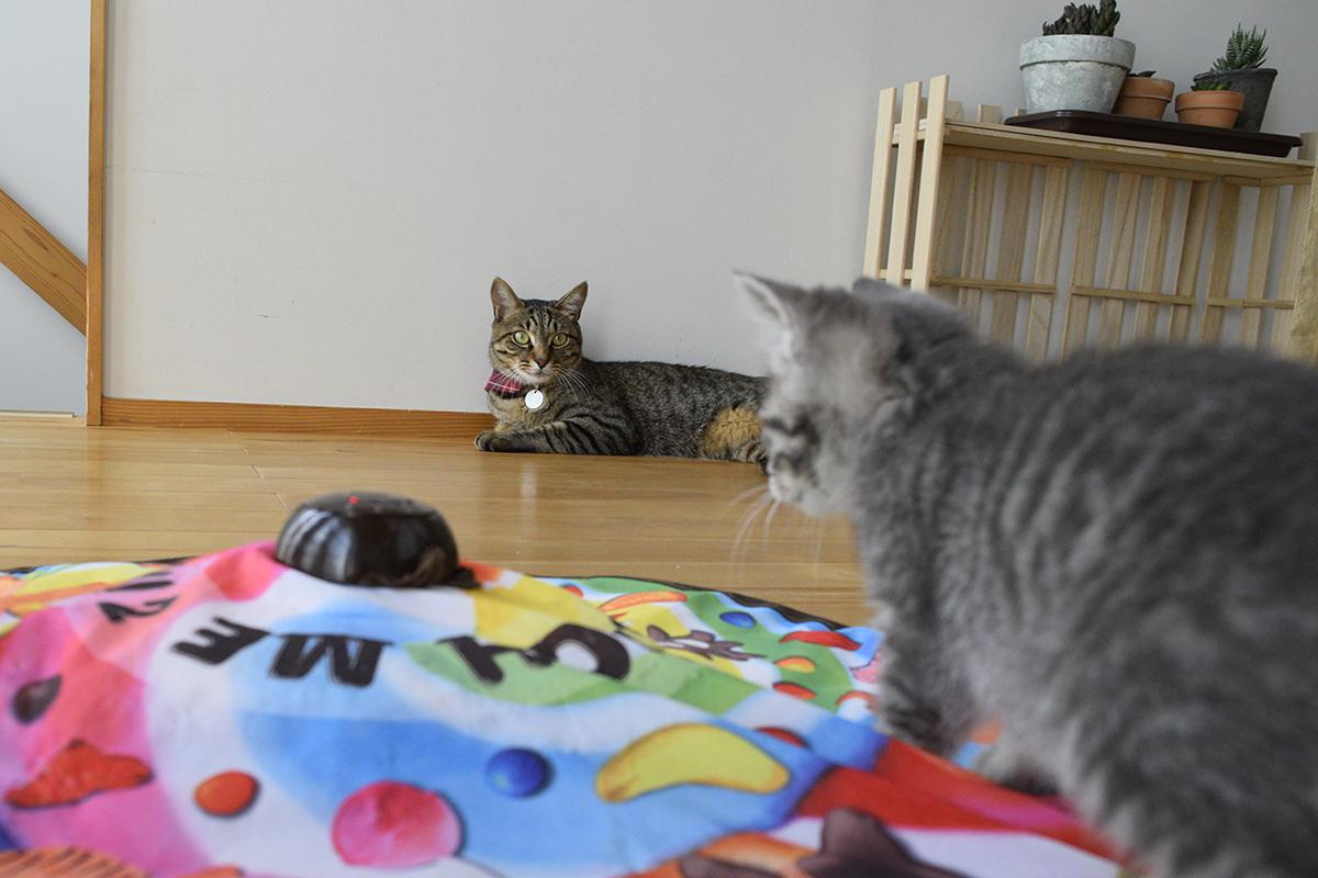キジトラ猫の虎ノ介がスイッチをいれたキャッチミーイフユーキャンで遊ぶ新入り猫
