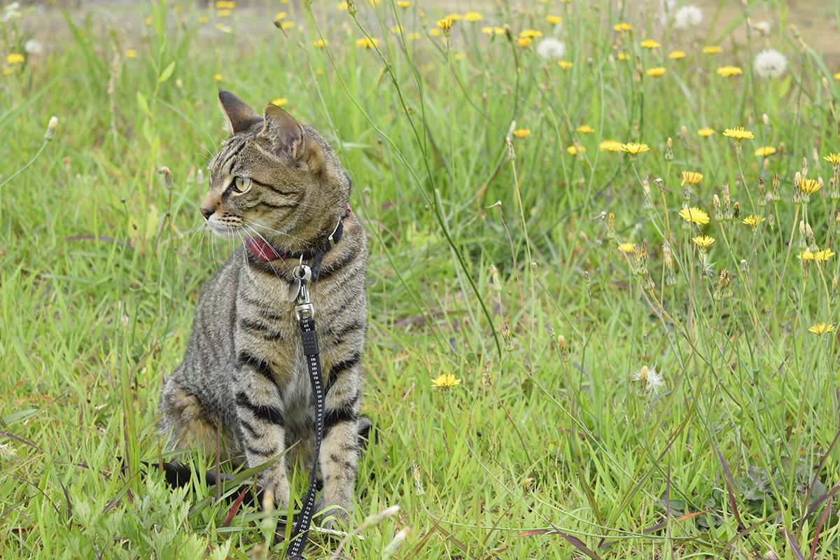 花畑にいるキジトラ猫の虎ノ介