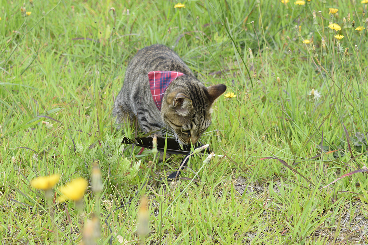カラスの羽にじゃれつくキジトラ猫の虎ノ介