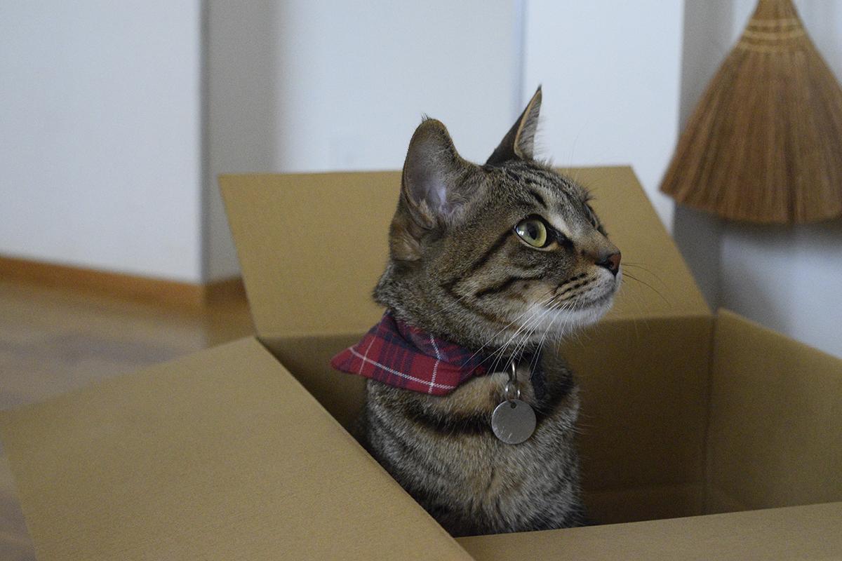 段ボールから新入りくんを覗くキジトラ猫の虎ノ介