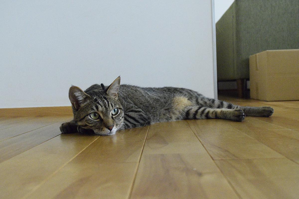 家にもどって冷たい床でくつろぐキジトラ猫の虎ノ介