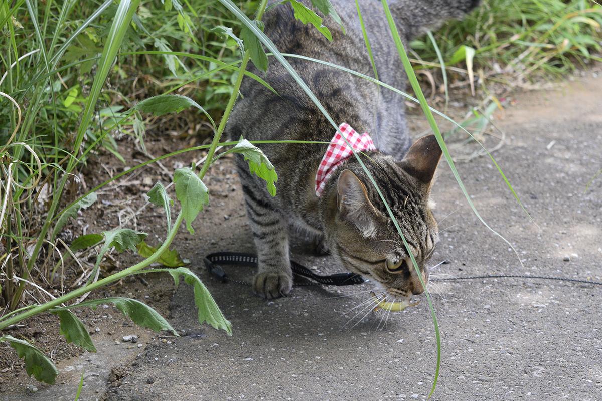 カナヘビを捕まえたキジトラ猫の虎ノ介