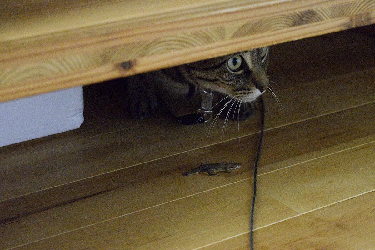 お家にカナヘビをもってきたキジトラ猫の虎ノ介