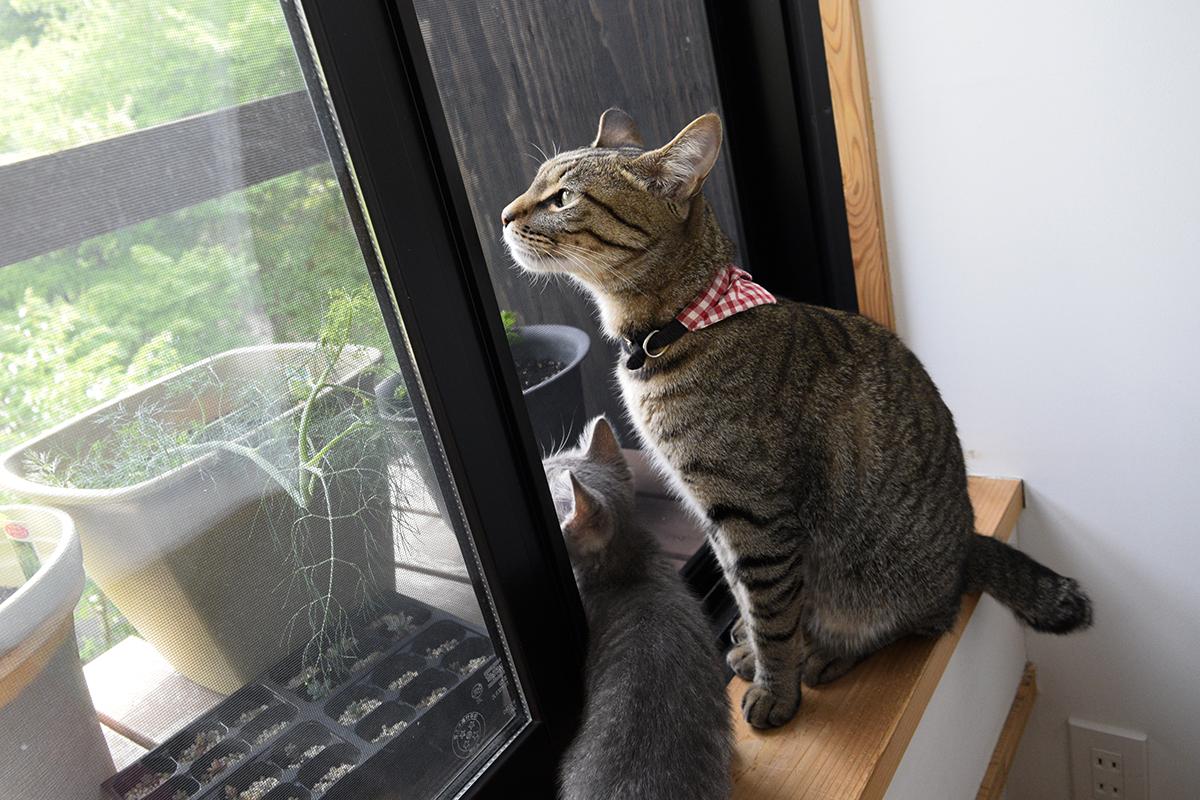 外を眺めるキジトラ猫の虎ノ介とサバトラ猫の春太