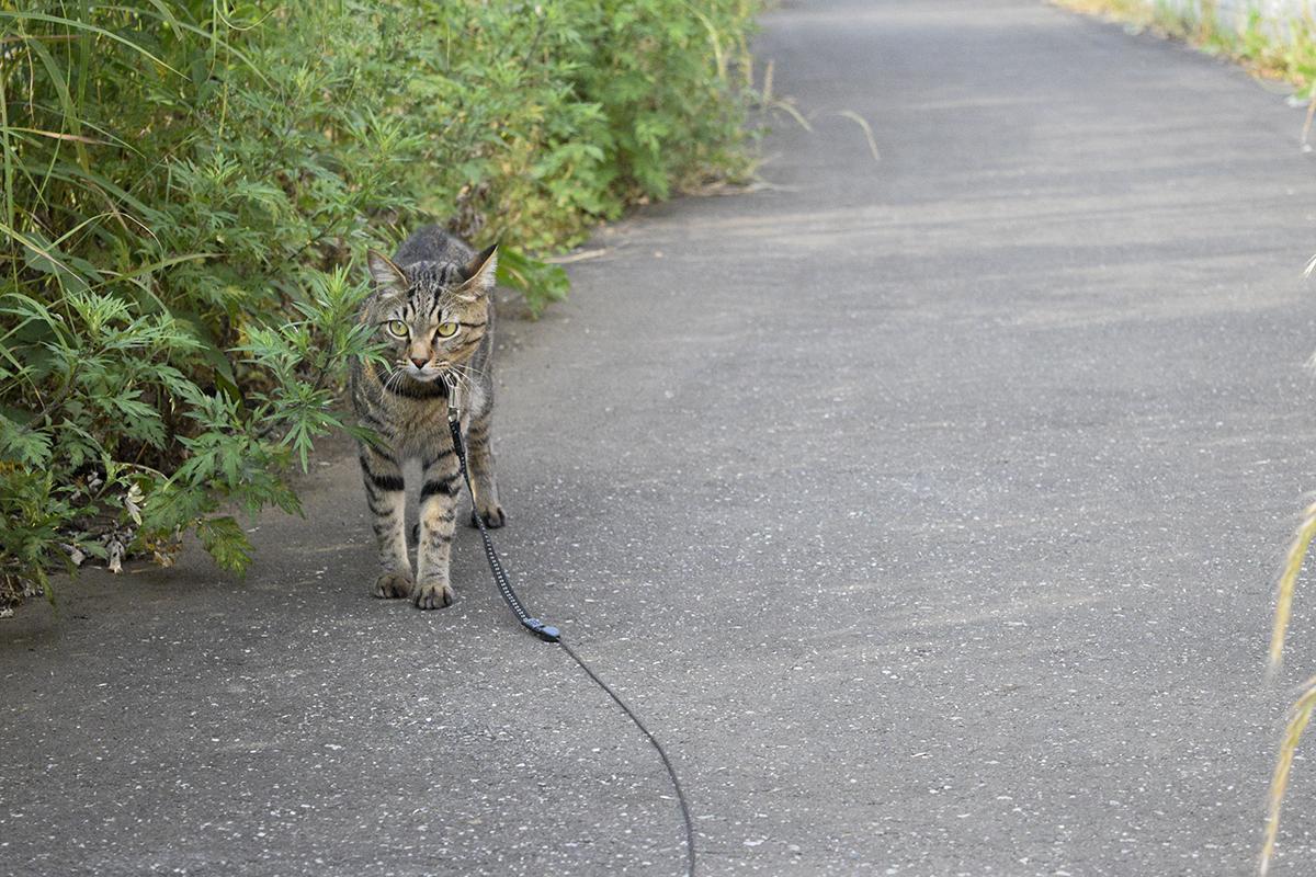 お散歩中に犬に遭遇したキジトラ猫の虎ノ介