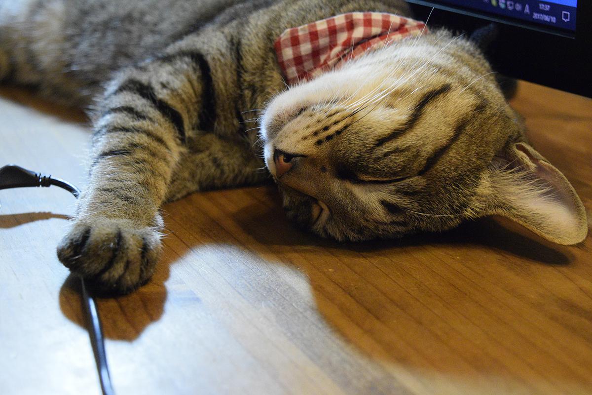 お散歩からもどってお昼寝するキジトラ猫の虎ノ介
