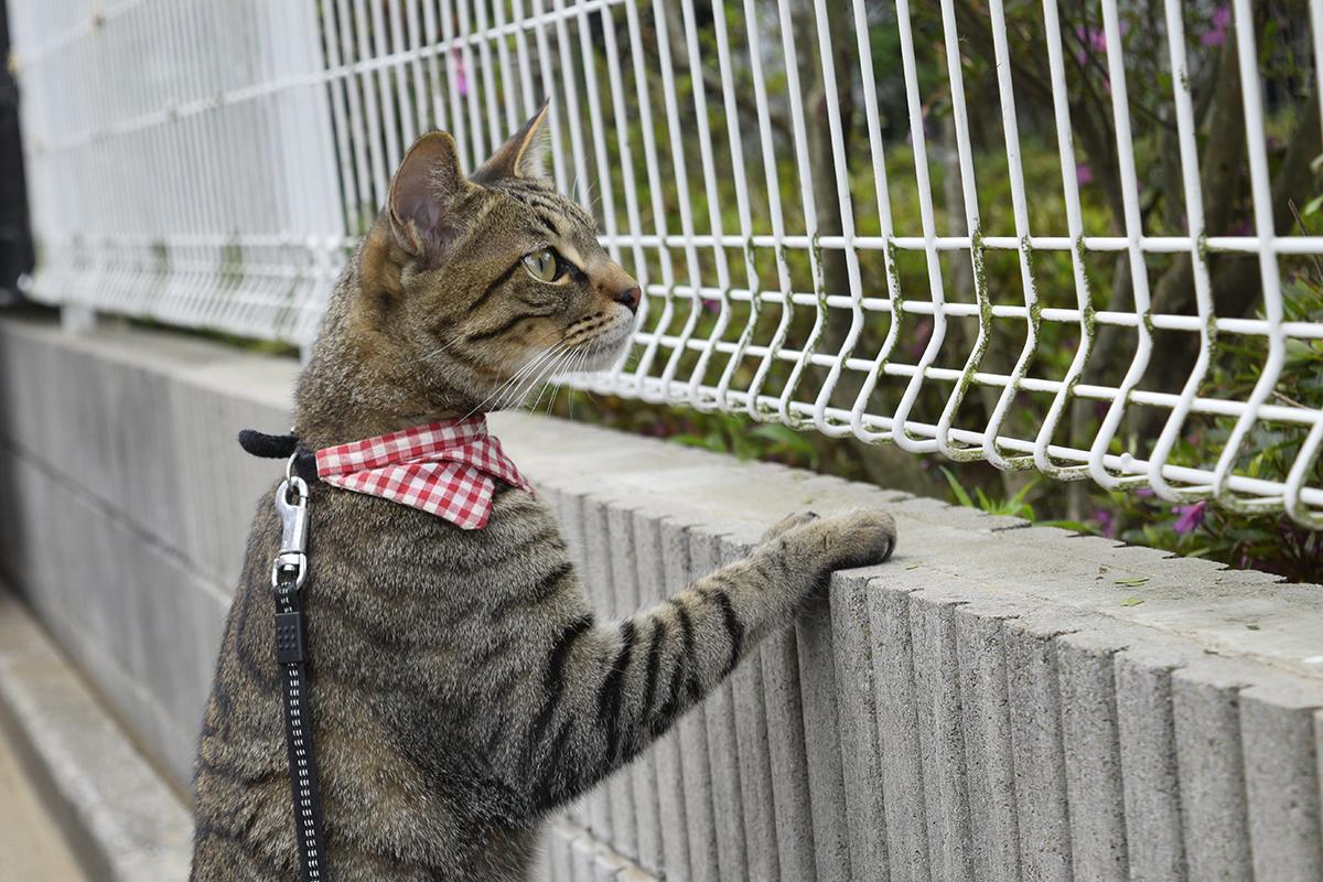 ご近所の綺麗に手入れされた芝生を見つめるキジトラ猫の虎ノ介
