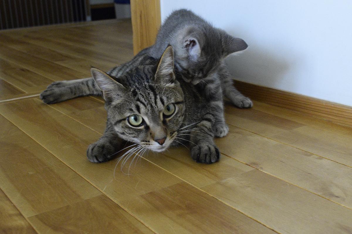 サバトラ猫の春太に襲われるキジトラ猫の虎ノ介