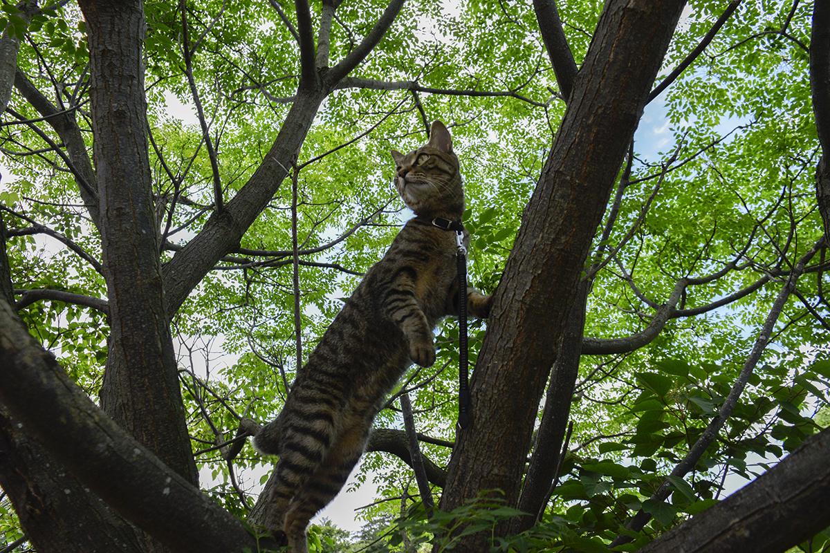 木登りをするキジトラ猫の虎ノ介