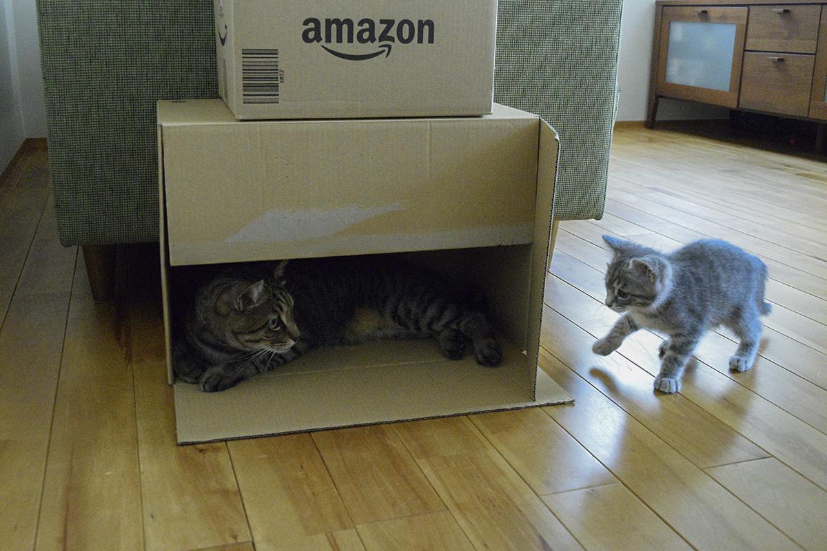 箱に入っている虎にちょっかいをかけるサバトラ猫の春太