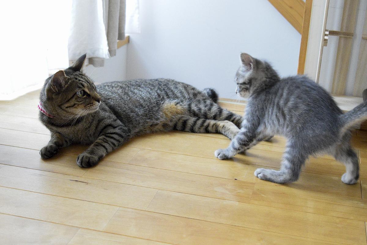 くつろいでいるところをサバトラ猫の春太に襲われるキジトラ猫の虎ノ介