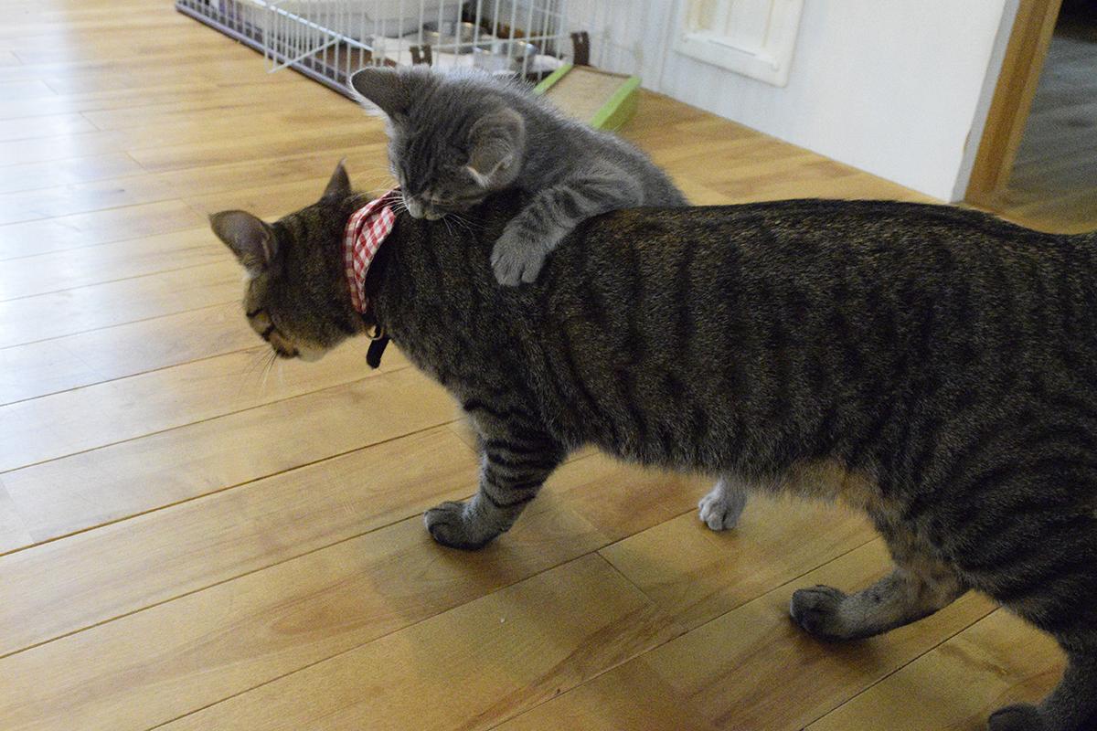 ご飯を食べに行くキジトラ猫の虎ノ介を襲うサバトラ猫の春太