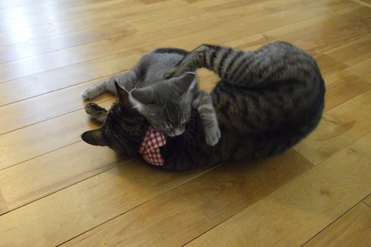 床にいるキジトラ猫の虎ノ介を襲うサバトラ猫の春太
