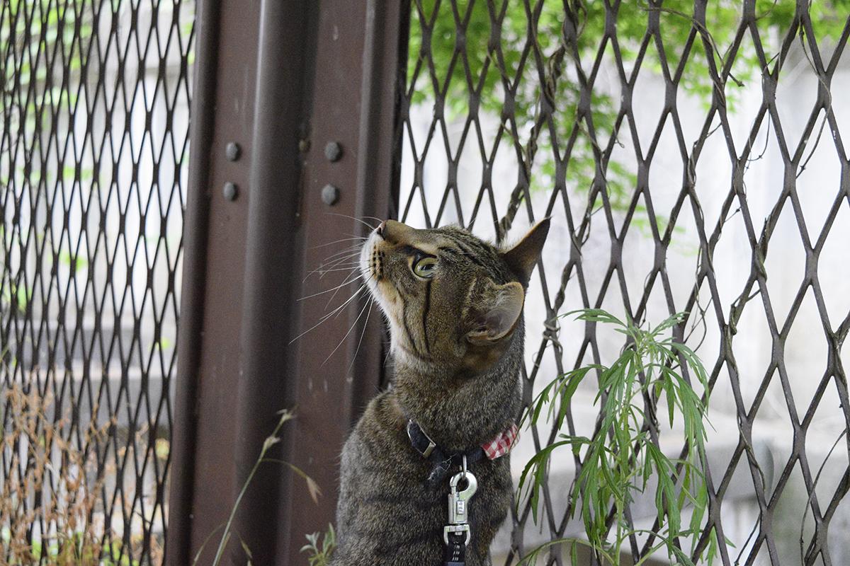 空を見上げるキジトラ猫の虎ノ介