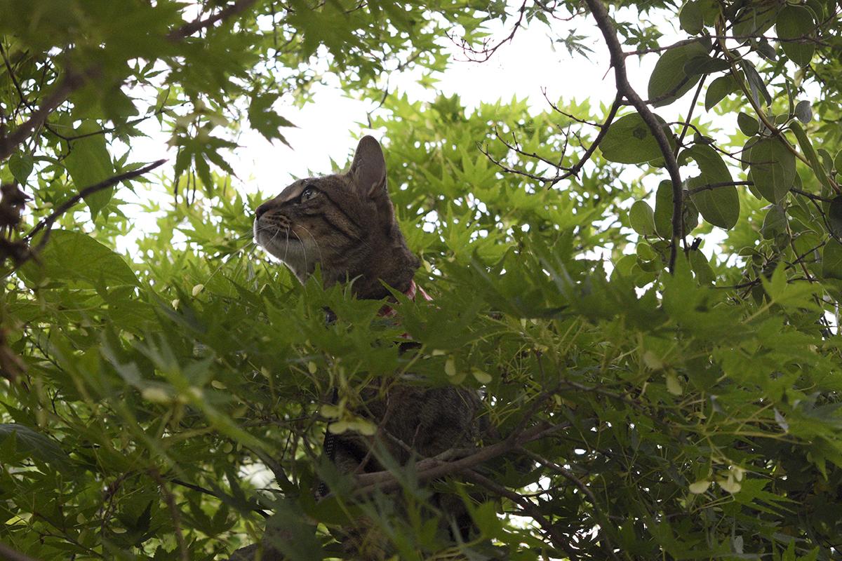木の上から空を見上げるキジトラ猫の虎ノ介