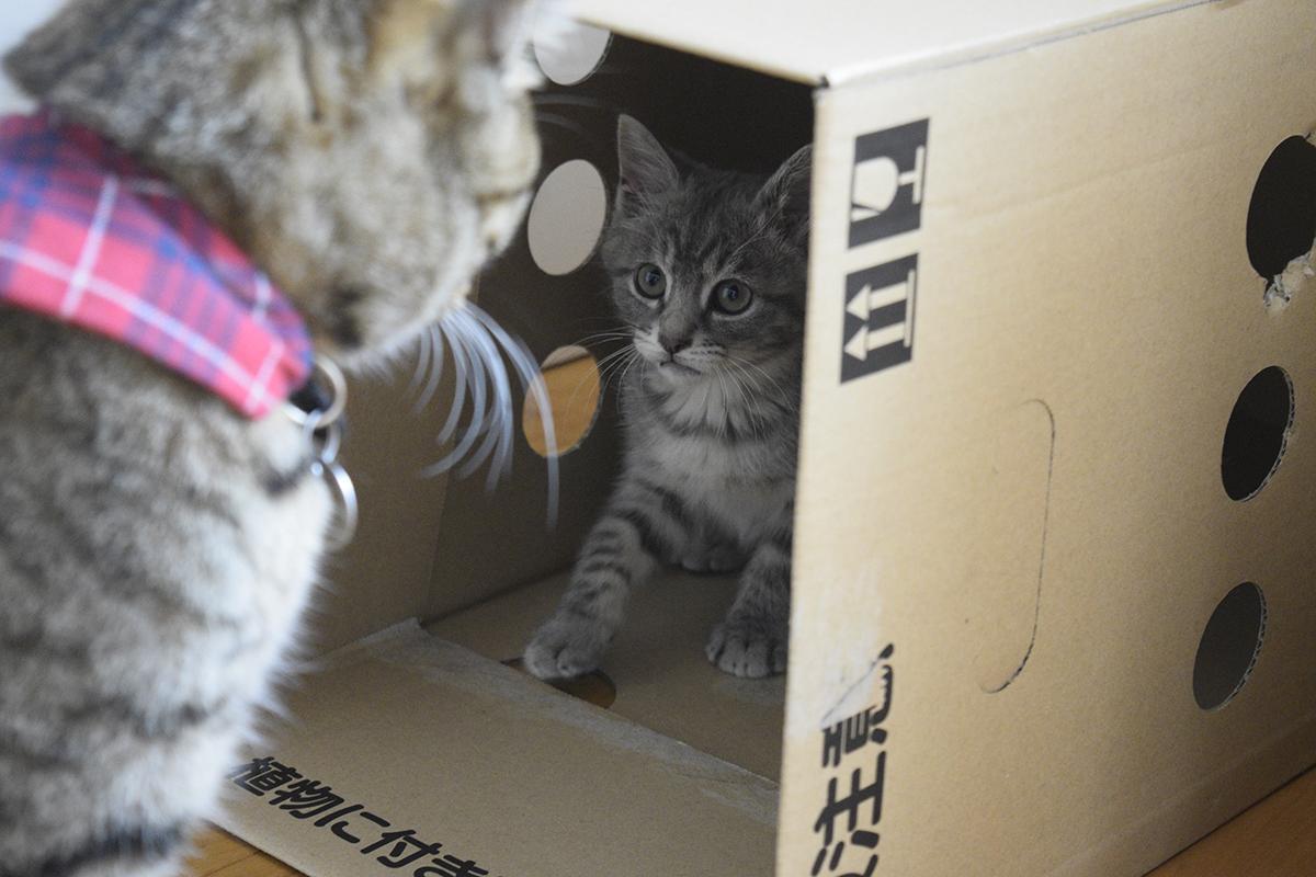 段ボールを乗っ取るサバトラ猫の春太