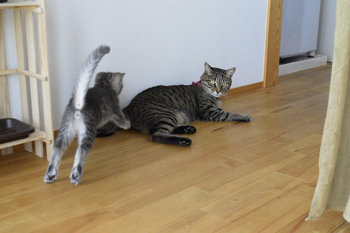 場所を移動したキジトラ猫の虎ノ介に駆け寄るサバトラ猫の春太