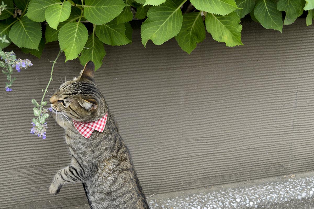 キャットミントの匂いを嗅ぐキジトラ猫の虎ノ介