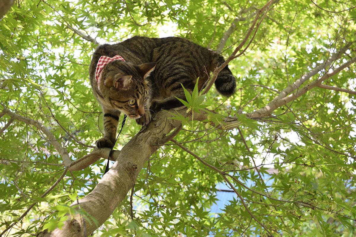 木登りして気持ちを落ち着けるキジトラ猫の虎ノ介