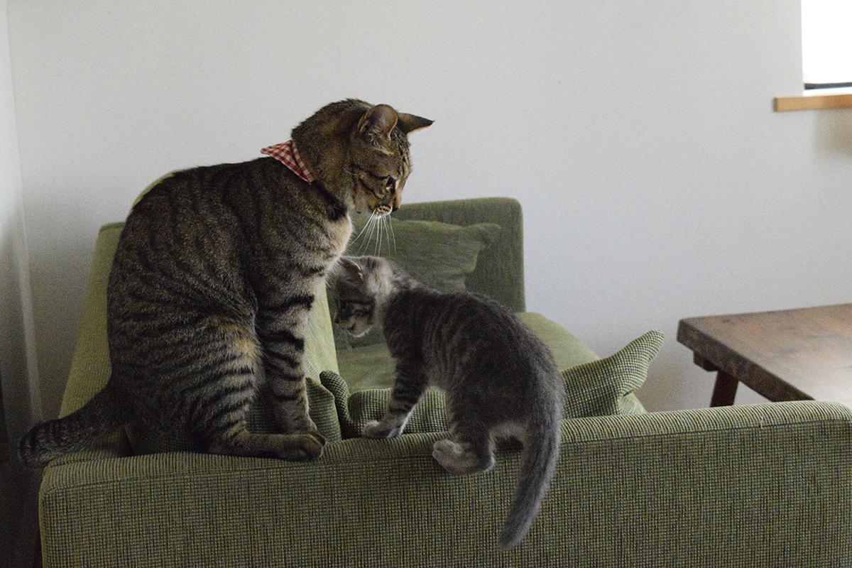 ソファーの上にのぼったキジトラ猫の虎ノ介についてくるサバトラ猫の春太