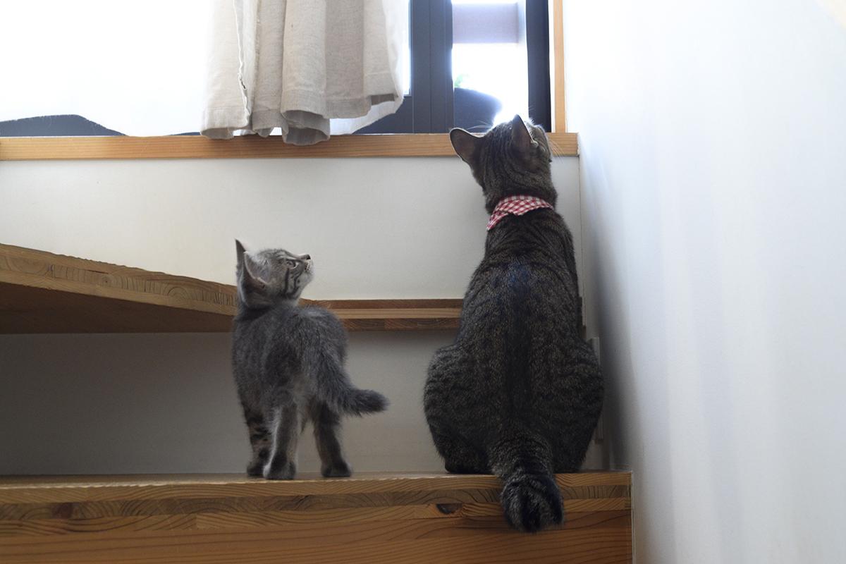 階段を上ったキジトラ猫の虎ノ介についてくるサバトラ猫の春太