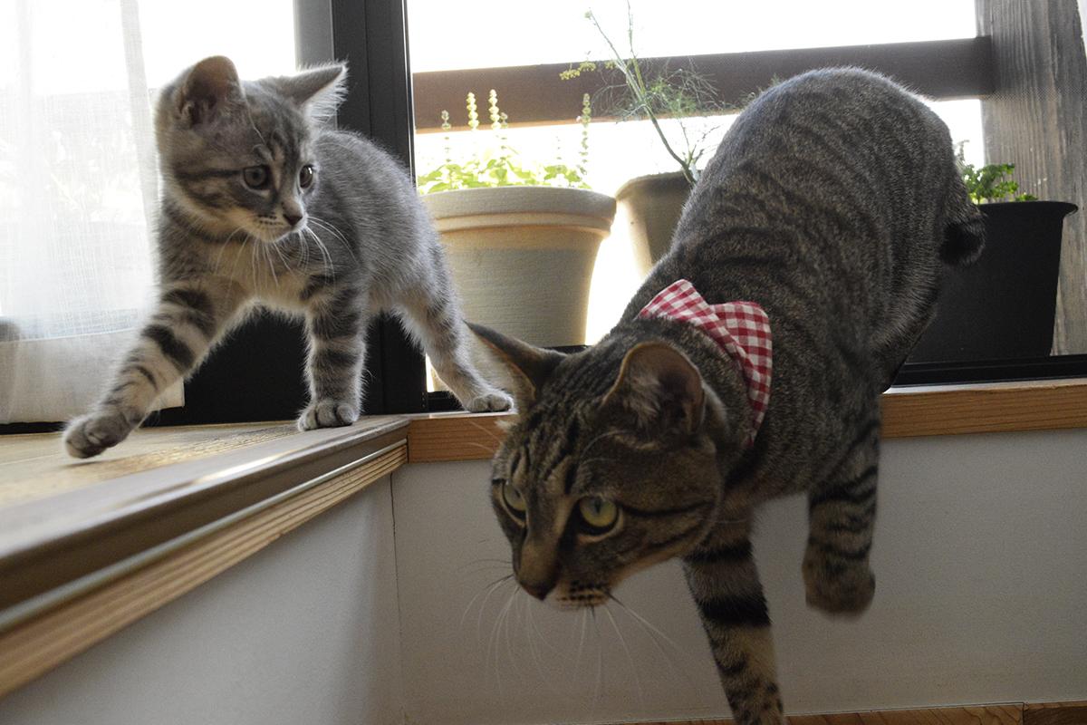 階段を下りるキジトラ猫の虎ノ介についてくるサバトラ猫の春太