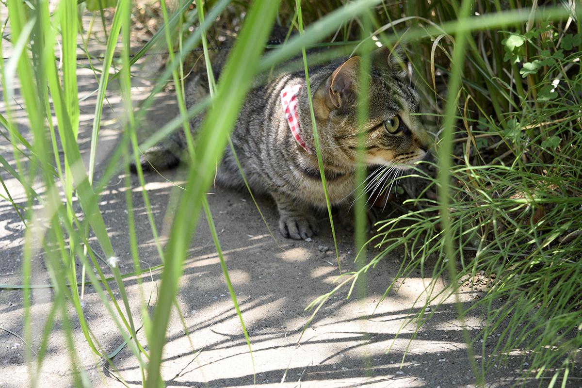 草の下で涼むキジトラ猫の虎ノ介