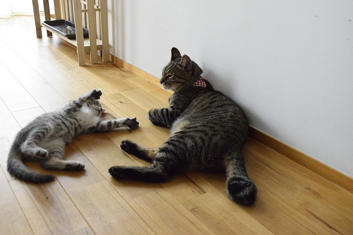 キジトラ猫の虎ノ介に遊んでアピールをするサバトラ猫の春太
