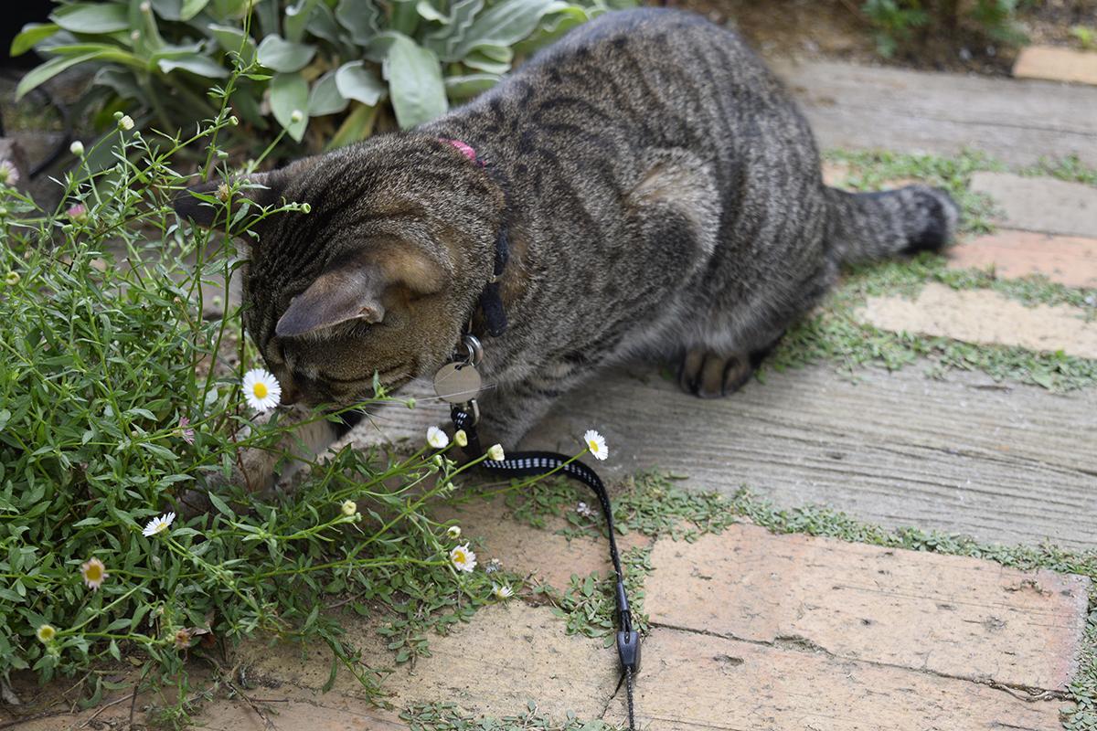 ムカデをおいかけるキジトラ猫の虎ノ介