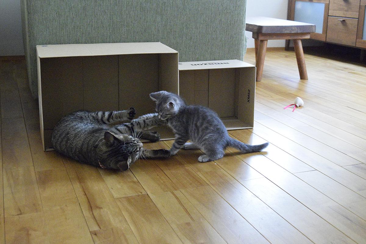 リビングでサバトラ猫の春太に絡まれるキジトラ猫の虎ノ介