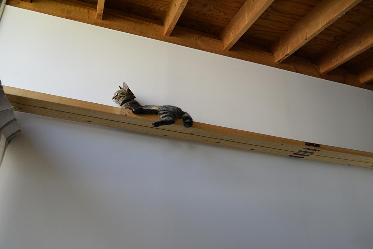 キャットウォークの上に避難するキジトラ猫の虎ノ介
